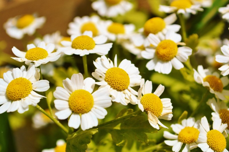 Can Dogs Have Feverfew